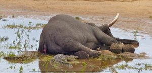 Crocodiles scavenging on a dead elephant.