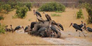 Scavengers on dead elephant.