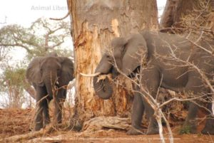 When elephant numbers are too great then it is the trees, plants and other herbivores that pay the price.